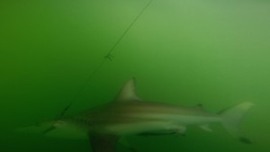 black_tip_shark_under_water